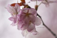 Beauty in Pink (Alpha 2008) Tags: park pink flower macro japan cherry sapporo colorful hokkaido blossom sony    sakura alpha   nakajima