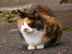 calico (hamapenguin) Tags: animal cat calico neko  straycat