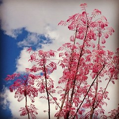 If I could touch the sky (AieshaB) Tags: pink sky sumac