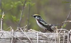 *** Chesnut-Sided Warbler / Paruline  flanc marron (ricketdi) Tags: bird ngc marron verdure chesnut cantley chesnutsidedwarbler parulineaflancmarron explore08juin2016no5