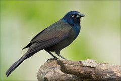 Grackle - Adult (sunnyf16) Tags: bird nature spring nikon flickr dof feathers grackle northamerica dslr grumpy naturephotography nikonprime sunnyf16 dailynaturetnc11 robertvisconti followmeontwittercloserlookwldlf