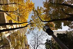 #107. Mirando hacia arriba. (adscvr) Tags: hojas amarillo cielo rbol otoo farol voigtlandersuperwideheliar15mmf45