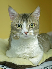 Peter_03 (AbbyB.) Tags: rescue pet cat newjersey feline shelter adopt adoptable shelterpet petphotography easthanovernj mtpleasantanimalshelter