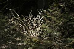 Fallen (Anne Oldfield) Tags: tree america dead montana fallen resting glacierpark