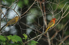 IMG_1347-1 Summer Tanagers - pair (John Pohl2011) Tags: bird canon john 100400mm pohl perching t4i 100400mmlens canont4i