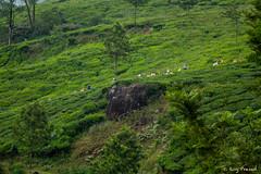 _DSC0940 (Roy Prasad) Tags: travel india workers tea harvest kerala hills prasad devan munnar kannan kannandevanhills royprasad