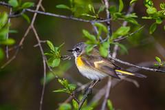 StartMeUp (jmishefske) Tags: park bird wisconsin female franklin nikon may milwaukee stick redstart 2016 whitnall d800e