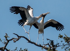 love dance of the storks (fins'n'feathers) Tags: birds animals florida wildlife staugustine storks rookery nesting nests matingdance alligatorfarm woodstorks