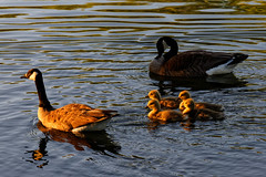 Towards the sunset (aleadam) Tags: park family sunset sun reflection water swimming swim geese warm guard goose gosling 7dwf whateverwater