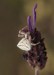 Thomisus onustus crab spider (Fotografía de Naturaleza de Paco Moreno Gámez) Tags: parque naturaleza fauna andalucía flora natural huelva sierra araña picos fotografía cangrejo aracena aroche