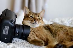 Jabba the Cat. (miyukiz4 su ood) Tags: cat kitten gatinho gatito ktzchen chaton  gttino