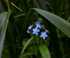 Hiding in green (Varvara_R) Tags: blue summer flower macro nature fleur forest forgetmenot blau coth vergissemeinnicht