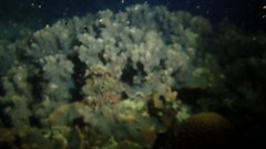 20160426_200 (cat64fish) Tags: mer video marine singapore underwater spawning cf foliose satumu hardcoral