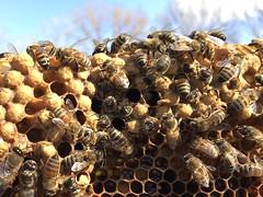 Emerging Brood (OakleyOriginals) Tags: bees brood honeybees topbar hivecheck