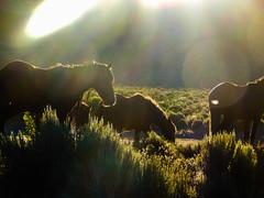 Sunrise&Horses (ellenalbiter) Tags: nature animals sunrise outdoor wildhorses