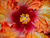 Hibiscus Sherbert Swirl (FotoGrazio) Tags: red orange plant painterly abstract flower macro art texture nature beautiful yellow closeup composition contrast garden botanical photography photoshoot fineart surreal hybiscus moment lovely photographicart capture botany mothernature digitalphotography phototoart sandiegobotanicalgardens sandiegophotographer artofphotography flickrelite californiaphotographer internationalphotographers worldphotographer photographersinsandiego fotograzio photographersincalifornia waynegrazio waynesgrazio flowerwarmtones