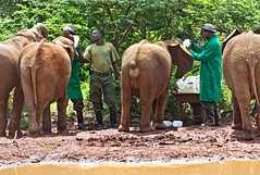 David Sheldrick Elephant Orphanage - Alamaya 1 (Grete Howard) Tags: safariinafrica safari whichsafaricompany bestsafaricompany calabashadventures travel holiday africa kenya elephants davidsheldrickwildlifetrust elephantorphanage wildelife animals nairobi