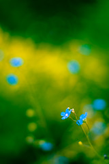 The beauty of small things (Ans van de Sluis) Tags: blue flower nature floral garden botanical spring flora bokeh bloom botanic colourful bokehlicious ansvandesluis