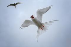 Arctic tern (Sterna paradisaea) (Marcus Antonius Braun) Tags: white black wings tern bif attacking birdinflight defending arctictern sternaparadisaea