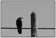 Le corbeau, Carcassonne (Jess Cano Snchez) Tags: bw france byn canon canal frana bn unesco crow midi aude francia carcassonne channel carcassona cuervo eos20d languedocroussillon corb corbeau carcasona tamron18200 elsenyordelsbertins lengadocrosselhon
