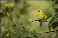 yellow warbler (Christian Hunold) Tags: bird philadelphia bokeh warbler songbird yellowwarbler johnheinznwr woodwarbler christianhunold