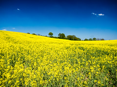 Rapslandschaft (Frank Lindecke) Tags: de deutschland himmel gelb blau landschaft raps schleswigholstein mielkendorf