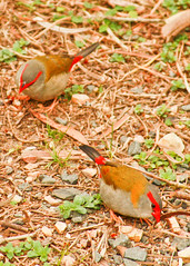 red.eyebrow finches (1 of 5) (Daniela Parra F.) Tags: aves birds finches red redeyebrowfinch birdsofaustralia aussiewildlife australia queensland qld aquaticbirds australianwildlife australianbirds