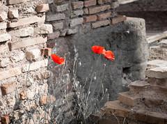 DSC06867.jpg (appliguy89) Tags: italy rome poppies theforum