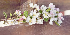 The apple blossom fence (Elisafox22) Tags: elisafox22 sony ilca77m2 100mmf28 macro macrolens telemacro apple appleblossom leaves petals pink white fencefriday fence wood ranchfence wooden fenceposts fencedfriday outdoors texture texturing layers photoshop elisaliddell2016