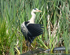 Caught much mate, nope, think i'll try over there (Peanut1371) Tags: white black bird heron reeds grey wing feathers nationalgeographicwildlife