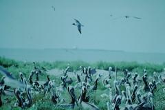 6-1989- Gulf of Mexico #20 (5) (foundslides) Tags: irmalouiserudd gulfofmexico kodalux kodak eastman kodachrome foundslides slide photos pictures vintage retro 1989 1980s amateur naturephotography ornithology bird birds wetlands birdwatching nests nest seabirds pelican analog slidecollection irmarudd