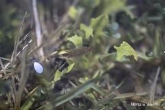 Chirocephalus Sibyllae, adulto. Chirocefalo della Sibilla (Fabrizio Diletti (Fermo, Italia)) Tags: mountain snow nature clouds landscape nuvole natura neve montagna paesaggio monti appennini sibillini crostaceo