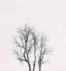 The Tree Skull (ainuLIslam) Tags: sky blackandwhite tree monochrome skull mono spread leaf branch minimal crack bnw