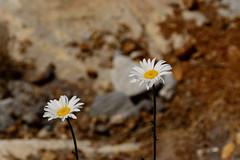 _DSC8673.jpg (newminaswilders) Tags: ca canada nature novascotia portjoli gardensorflowers