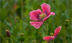 The metamorphosis... (lady_sunshine_photos) Tags: pinkpoppy poppy mohnfeld rosamohn ladysunshine weinviertel niedersterreich at austria europa metamorphose metamorphosis poppyfield interestinggroup wonderfulworld