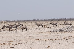 PGC_7526-20150925 (C&P_Pics) Tags: na bovidae namibia ostriches oryx springbok gemsbok burchellszebra etoshanationalpark oshana bluewildebeast hartmansmountainzebra okaukuejocamptodolemitecampandhobarterelodge