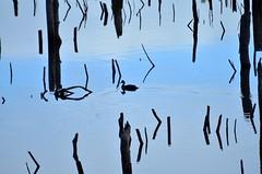 Where's Wally? (Márcia Valle) Tags: brazil lake bird water água brasil reflections lago duck nikon ave pato bahia reflexos caravelas patodomato márciavalle