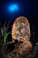 Pinna nobilis (javierferrermartinez) Tags: espaa mediterraneo murcia lugares animales peninsula marinos azoha posidonia nacrapinnanobilis