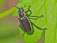 CAC038440a (jerryoldenettel) Tags: insect beetle nm coleoptera scarabbeetle 2016 insecta baneberry scarabaeidae dichelonyx cibolaco dichelonyxsp zunimts dichelonyxsulcata hausnercanyon