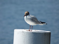 Brown-headed gull - Lake Como near Tremezzo (ell brown) Tags: italy italia lakecomo lombardia lagodicomo lombardy tremezzo tremezzina brownheadedgull italianlakedistrict viastatale