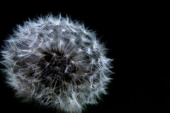 Dandelion (rosekaushal50) Tags: flower wish shot nature photography rebel canon flickr closeup
