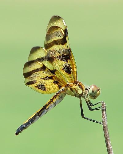 Happy Dragonfly Thursday!