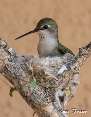 """Nature does not hurry, yet everything is accomplished"" (Anne Marie Fraser) Tags: nature beauty mom hummingbird nest mother motherhood patience"
