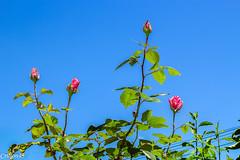 Essai avec flash. (Crilion43) Tags: rose france vreaux divers ciel jardin centre nuages paysage canon fleurs cher arbres blanche brouillard herbe jaune nature rouge rflex saumon