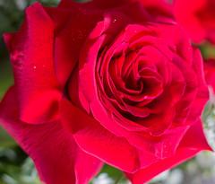 IMG_4137 (Josy'ta) Tags: rose rosas rosascolombianas flowers flores flor diadosnamorados love