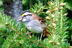 White-throated Sparrow, Cochrane Pond Road and area. (frank.king2014) Tags: ca canada whitethroatedsparrow baybulls newfoundlandandlabrador