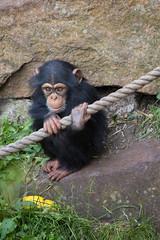 Holding on (greenzowie) Tags: animal mammal zoo edinburgh chimpanzee edinburghzoo 2016 photographyworkshop greenzowie