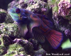 Mandarin Goby (SausageArm) Tags: fish water aquarium nikon marine aqua pretty underwater tank salt salty mandarin colourful aquatic reef reefs aquatics goby d90 dragonet 18105mm