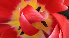 Tulip Curls (Note-ables by Lynn) Tags: plants flower macro nature gardens tulips