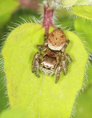 Jumping Spider (Prank F) Tags: uk macro nature closeup insect spider jumping wildlife rutland ketton wildlifetrust lrwt kettonquarry